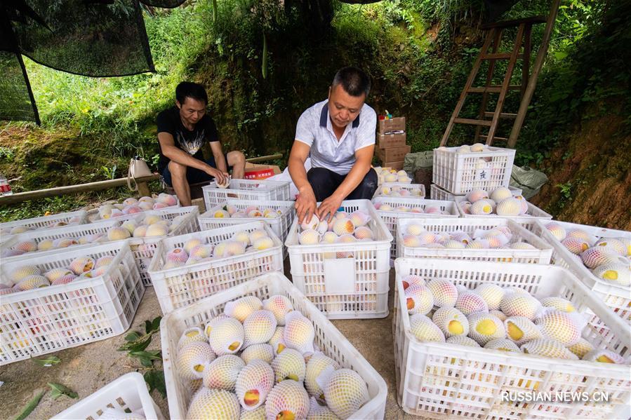 Сбор персиков в уезде Маян