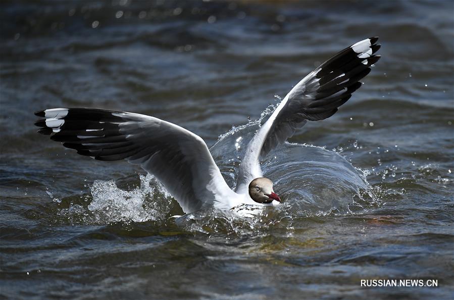 Чайки на реке Шалюхэ