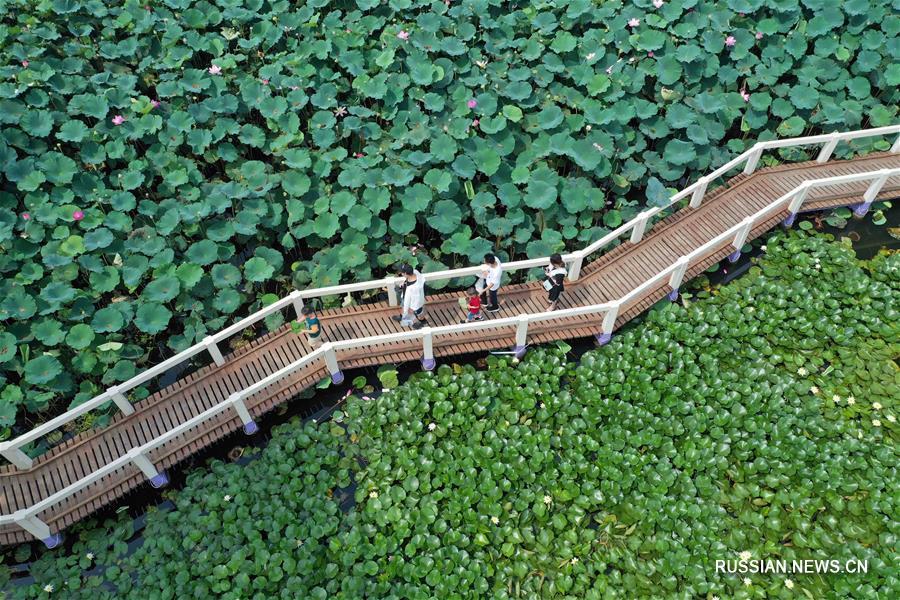 Летнее цветение лотосов в поселке Шэянху
