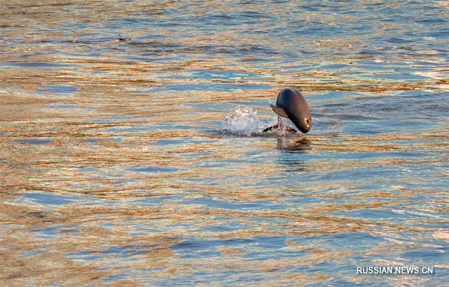 Бесперая морская свинья в водах Янцзы
