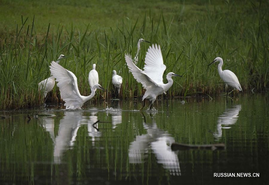 Цапли на берегах озера Наньху в Хэбэе