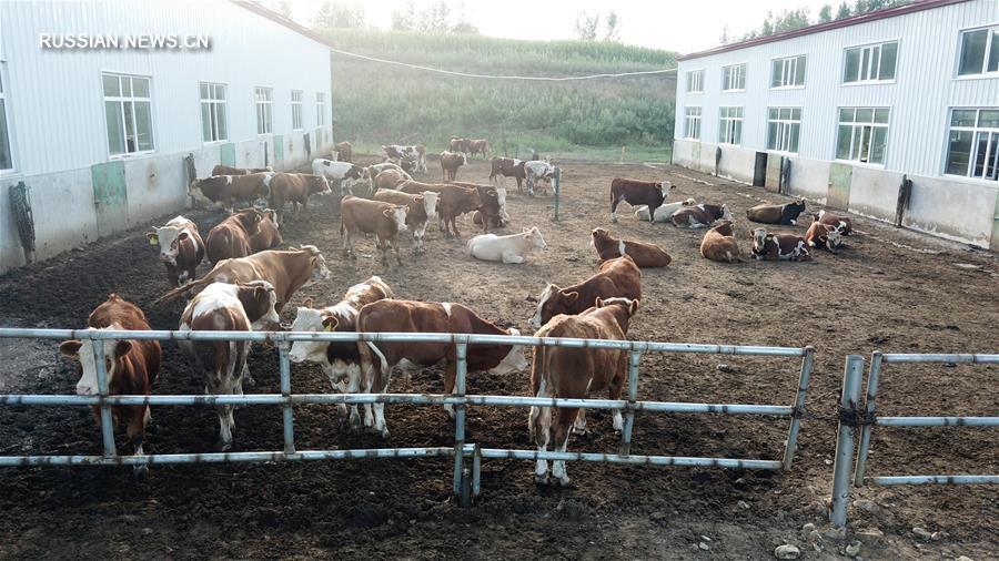 Мясное скотоводство обеспечило рост доходов бедных семей в Дуннине