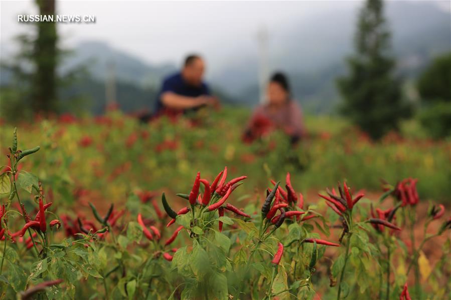 Сбор острого стручкового перца в уезде Цзяньхэ