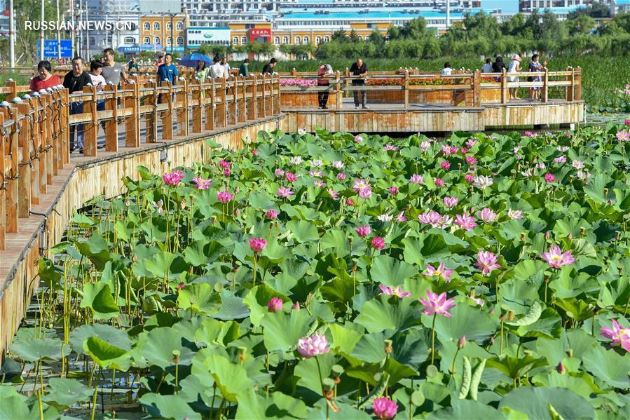 Цветение лотосов в парке водно-болотных угодий Хуаньчэн
