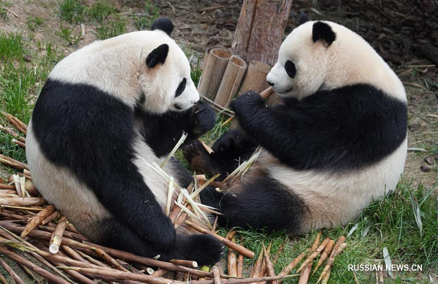 Беззаботная жизнь больших панд на Цинхай-Тибетском нагорье
