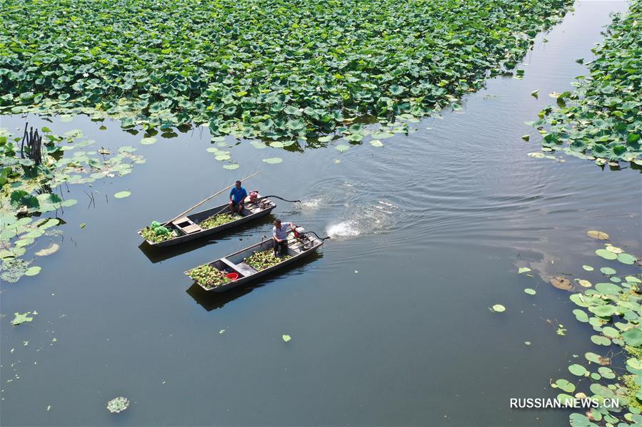 Сбор лотосовых семян в уезде Сыхун провинции Цзянсу