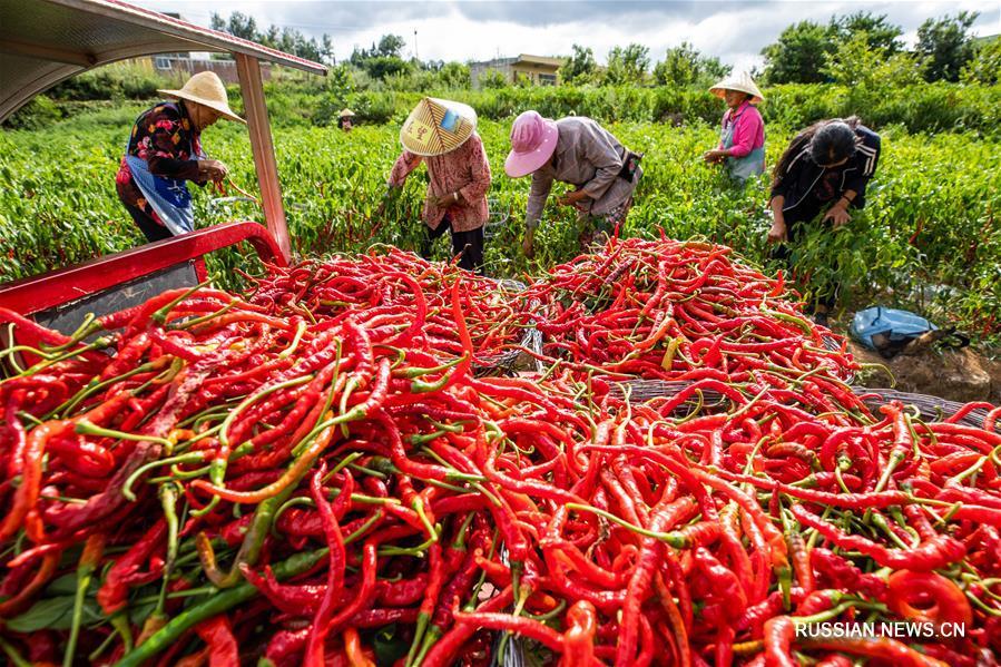 Фермеры из провинции Гуйчжоу собирают урожай жгучего перца