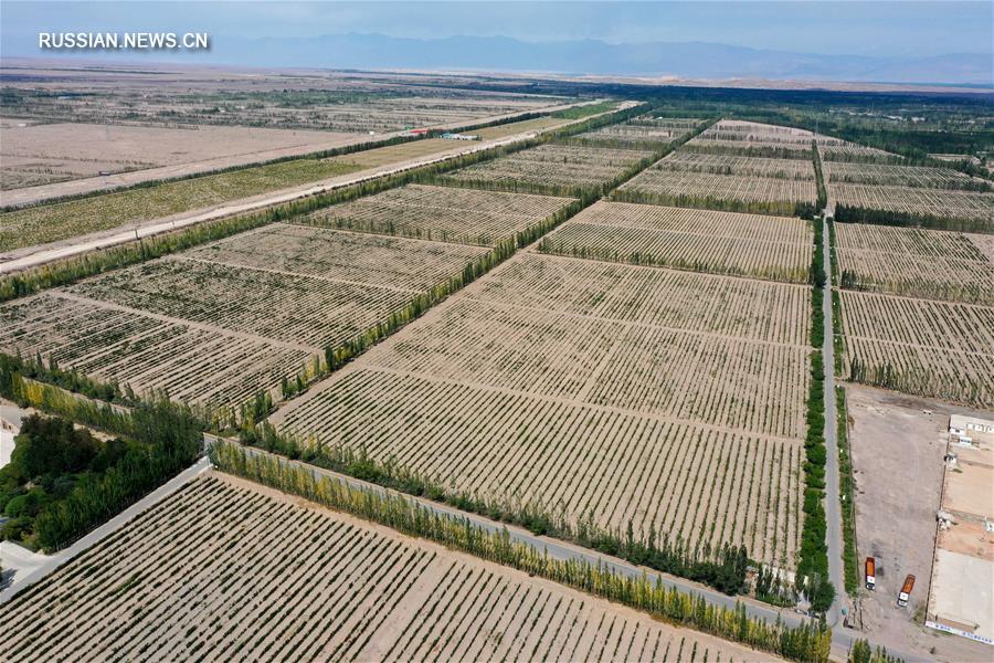 Сбор винограда в уезде Яньци