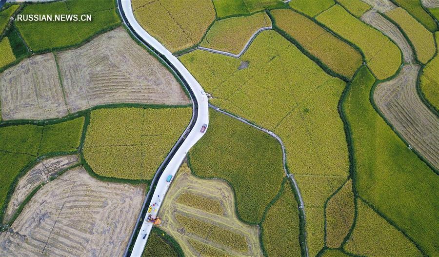 В поселке Гаонян началась уборка риса