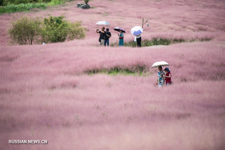 """""""Розовое море"""" мюленбергии в парке Шэньцюаньгу"""