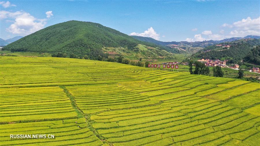 Террасные поля с заливным рисом в уезде Пугэ