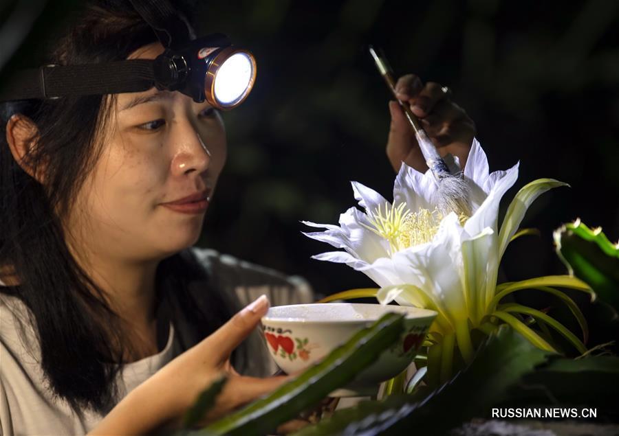 Опыление драгонфрута в тепличном хозяйстве в провинции Хэбэй