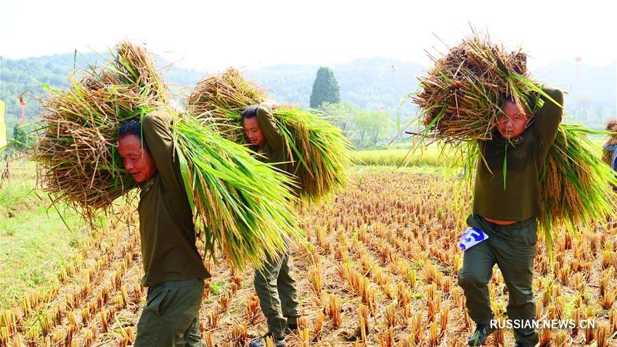 В уезде Цюаньчжоу на юге Китая состоялся конкурс по сбору риса