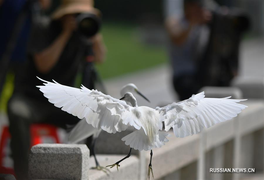 Легкий полет цапель в сямэньском парке