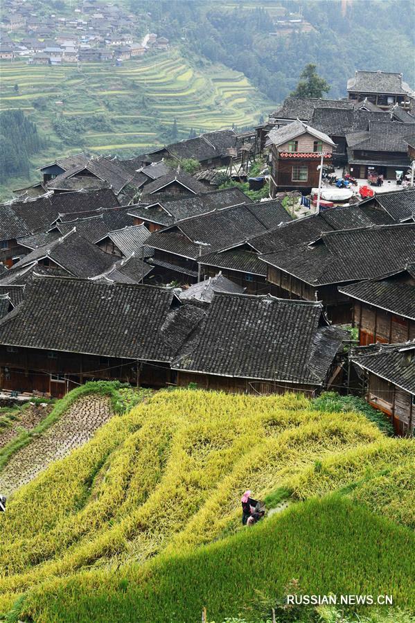 Уборка урожая на террасных полях в горах Юэляншань
