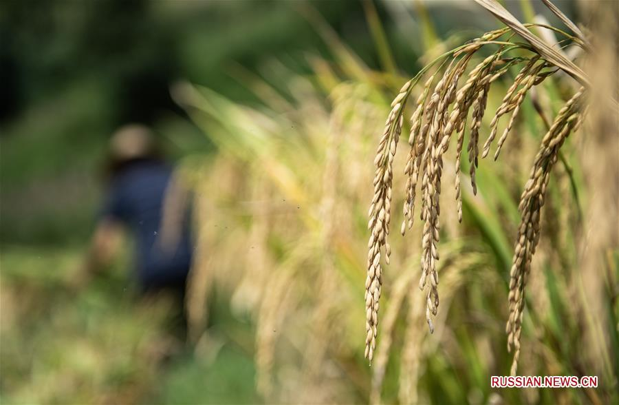 Уборка урожая риса в районе Лючжи провинции Гуйчжоу