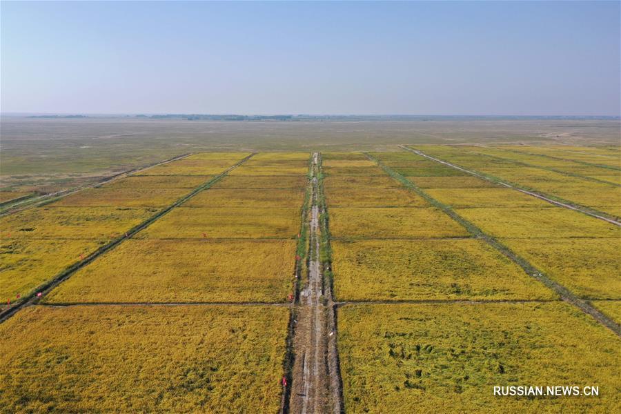 Урожайность солестойкого риса во Внутренней Монголии вновь превысила 5 центнеров с му