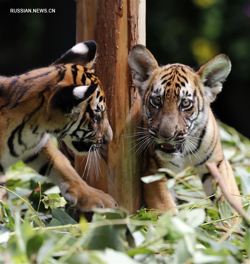 """В сафари-парке """"Чанлун"""" в Гуанчжоу растут тигрята-близнецы"""