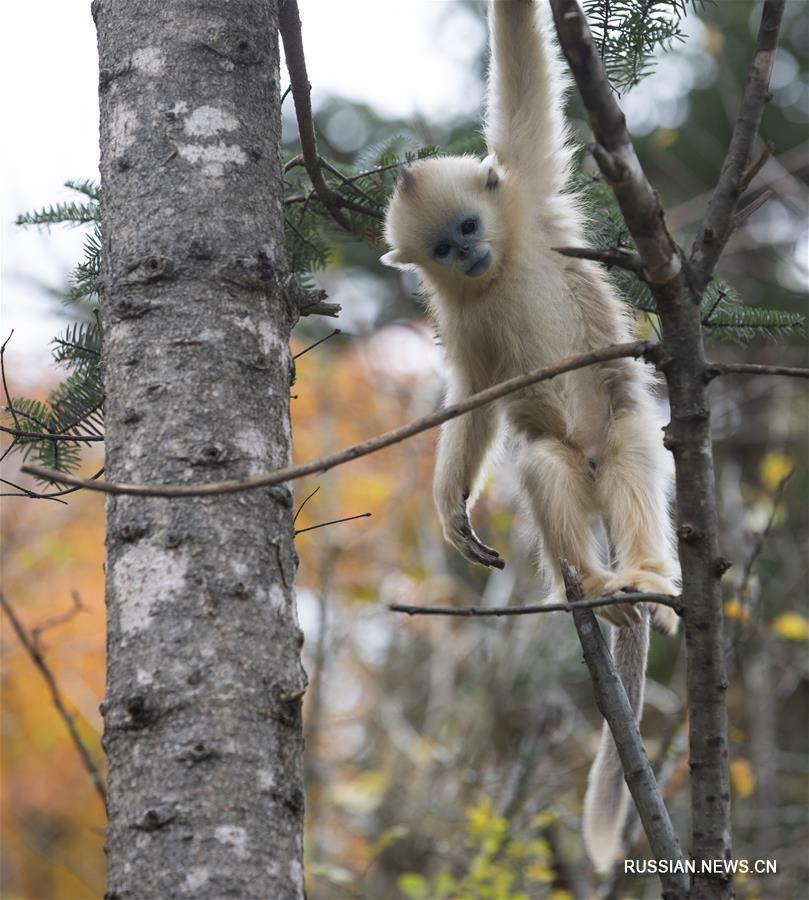 Осенняя жизнь шэньнунцзяских золотистых обезьян
