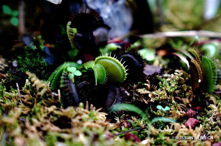 Выставка насекомоядных растений в Шанхае