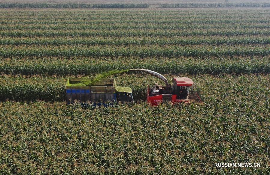 Выращивание сладкой кукурузы в Цаофэйдянь
