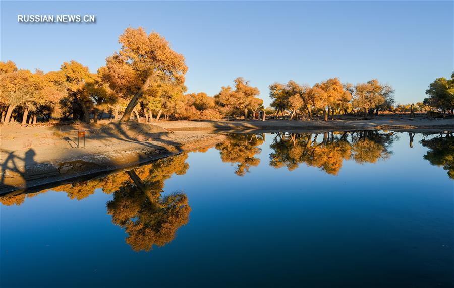 Осеннее великолепие евфратских тополей в пустыне на севере Китая