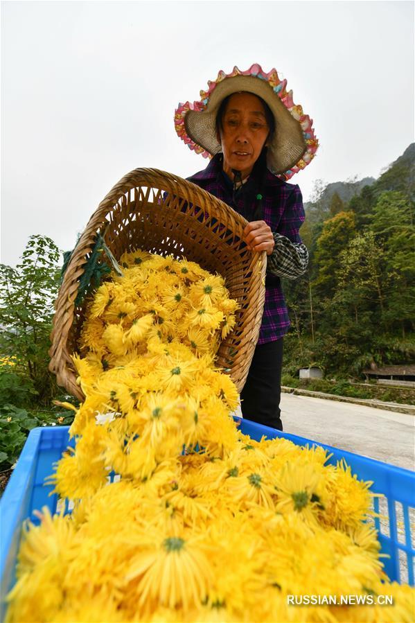 Выращивание элитных хризантем для борьбы с бедностью в деревне Цзиньси
