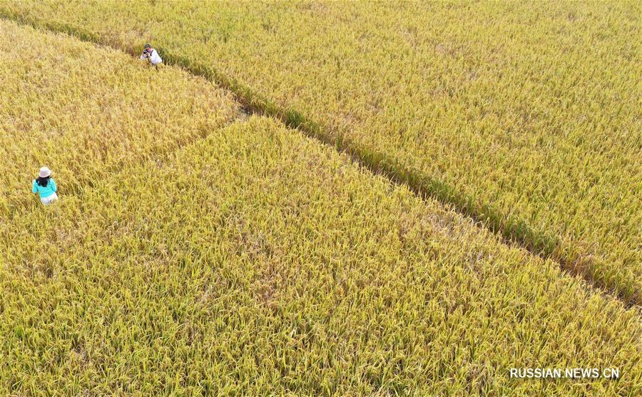Уборка позднеспелого риса в поселке Цзиньдэ