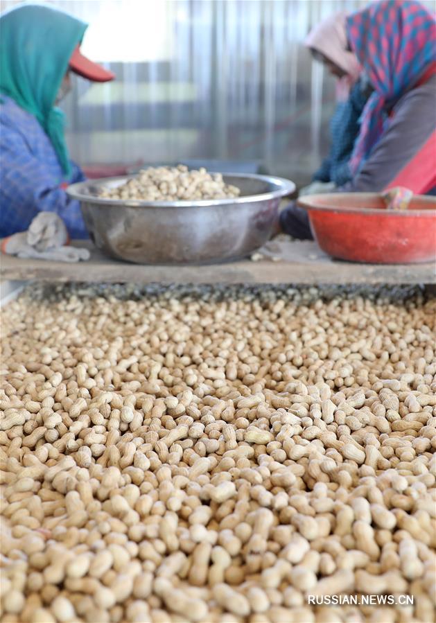 Осенние хлопоты на плантациях арахиса в провинции Ляонин