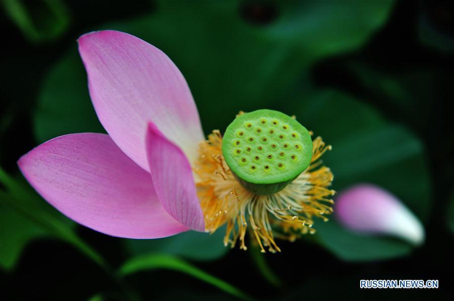 Цветок лотоса в одном из прудов Циндао