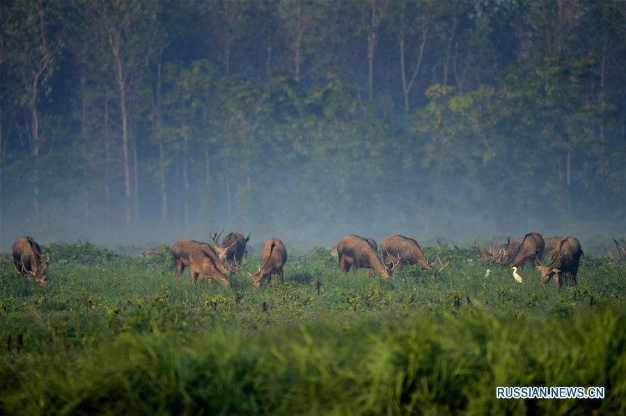 Популяция оленей Давида в заповеднике Тяньэчжоу быстро увеличивается