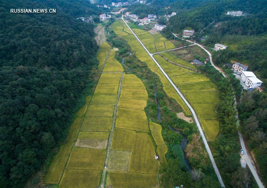 Уборка позднеспелого риса в уезде Шанхан