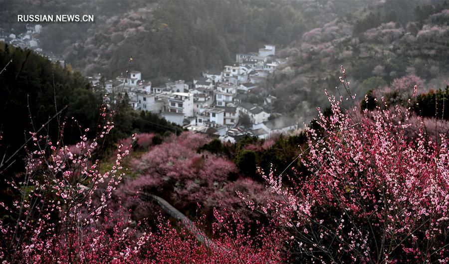 Цветение сливы в деревне Хунлин