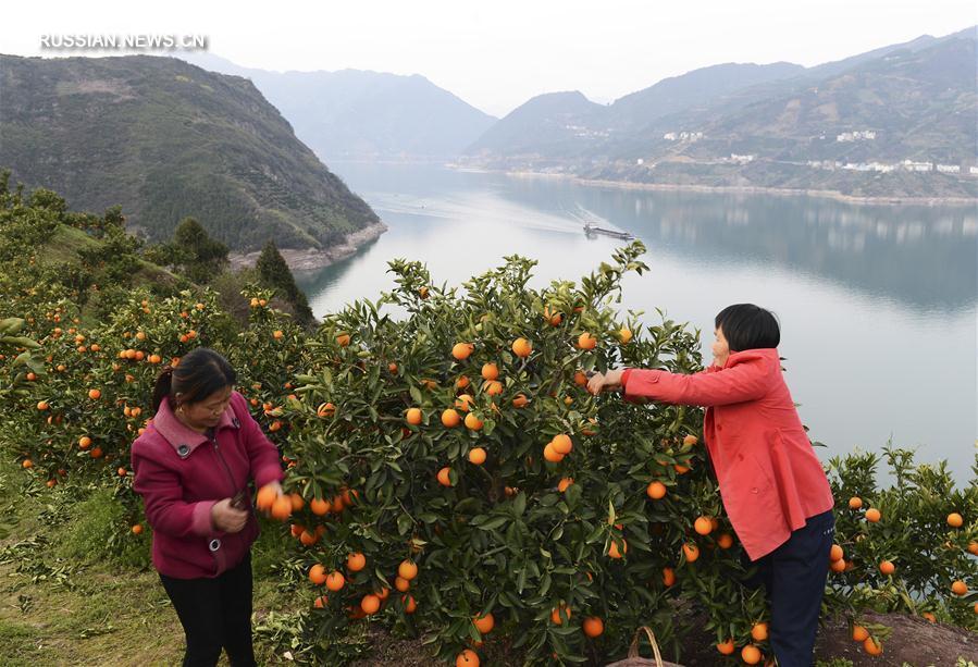Начался сезон апельсинов сорта навель с красной мякотью из провинции Хубэй