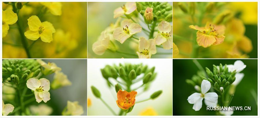 Разноцветный рапс выращивают в провинции Цзянси