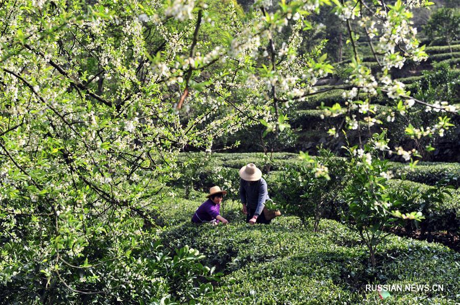 """В Китае идет сбор """"предцинминских"""" чаев"""