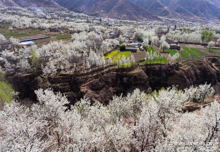 Цветение груш в речной долине уезда Цзиньчуань