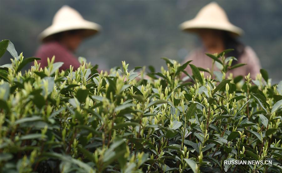 """В Ханчжоу идет сбор чая """"Сиху Лунцзин"""""""