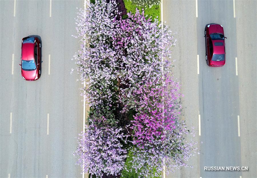 "Лючжоу накрыло ""розовое море"" цветущих баухиний"
