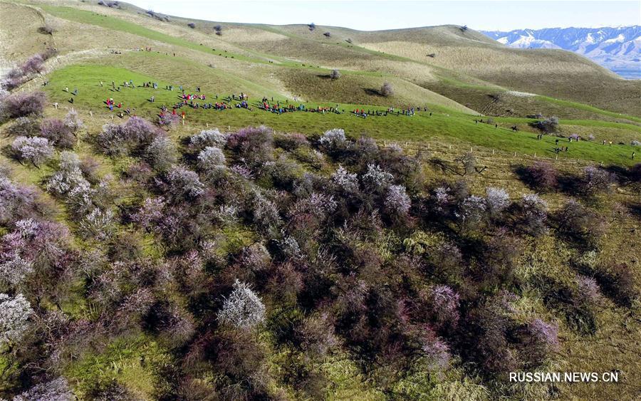 В долине Или цветет реликтовый абрикосовый лес