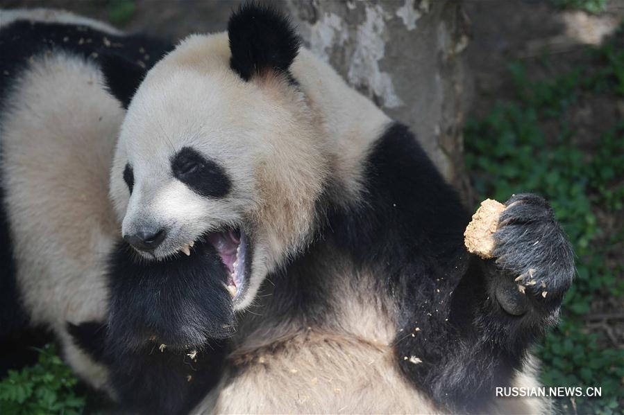 Большие панды Хэсин и Маоэр станут временными обитателями Копенгагенского зоопарка