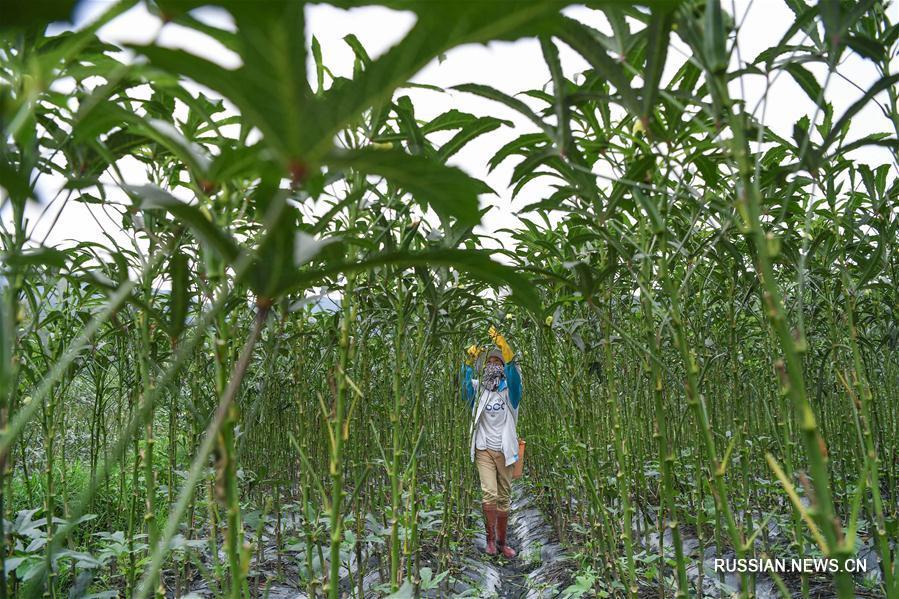 Выращивание бамии принесло достаток фермерам из горных деревень провинции Хайнань