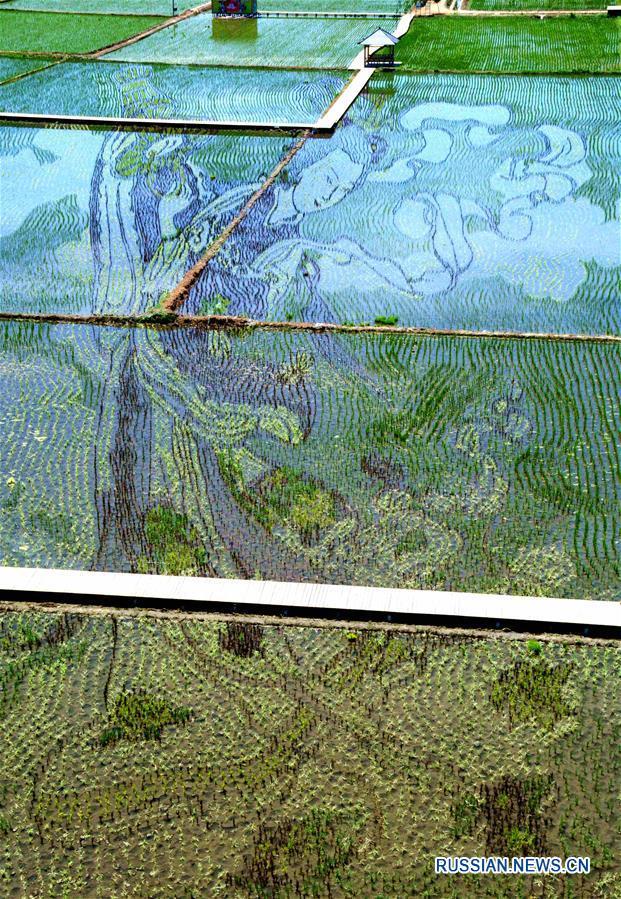 3D-рисунки на рисовых полях Северо-Восточного Китая