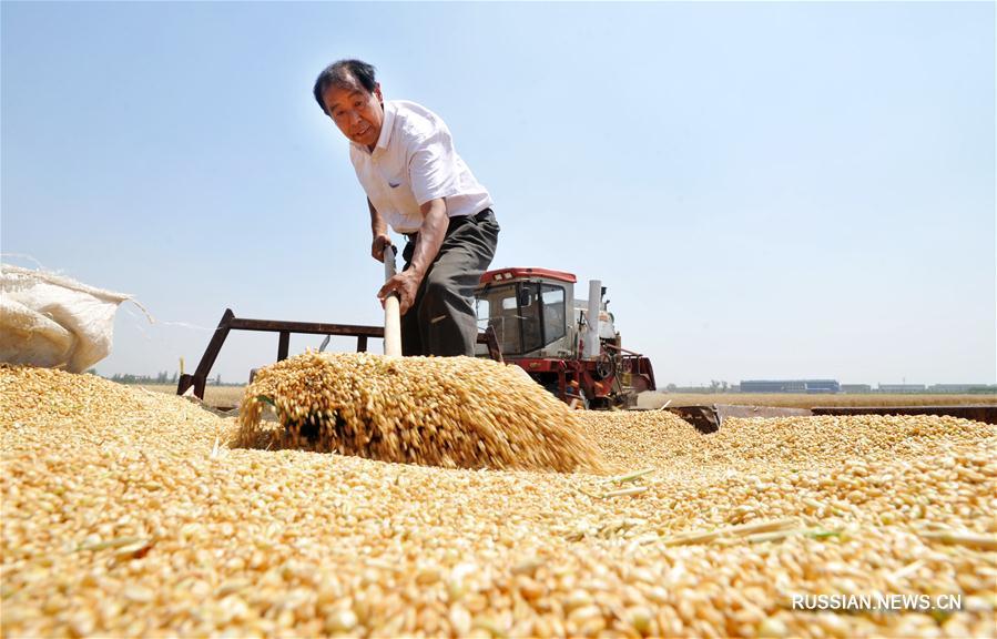 В Китае ожидается богатый урожай летних зерновых