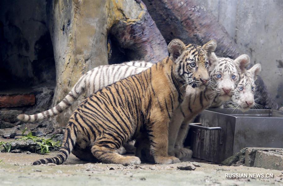 Тигрята из зоопарка Цзинаня появились перед публикой