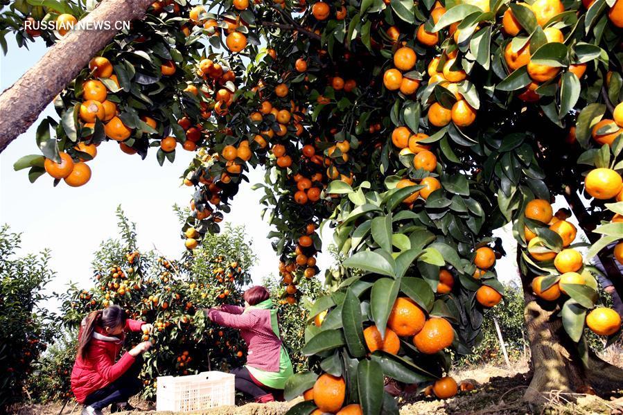 """Сбор урожая """"сахарных"""" мандаринов в уезде Юнфу"""