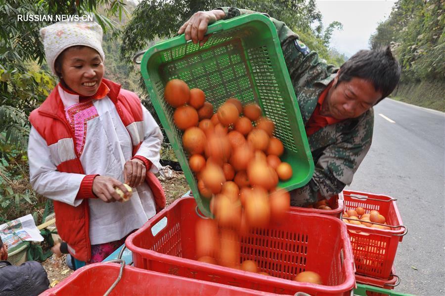 В уезде Жунцзян собирают пупковые апельсины