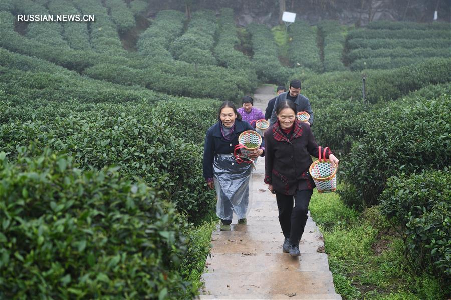 В Чунцине начался сбор весеннего чая