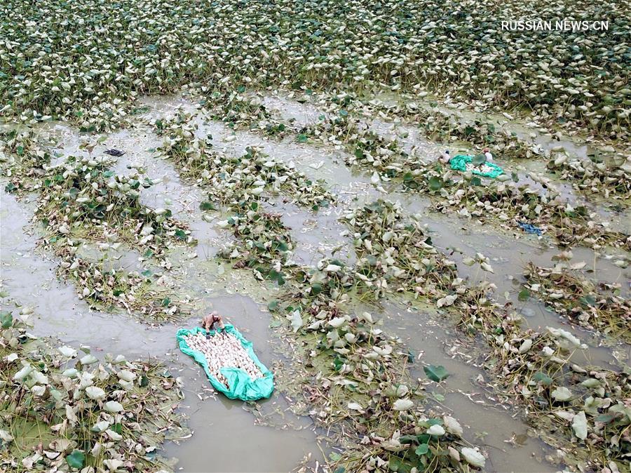 Сбор корневищ орехоносного лотоса в уезде Сыхун