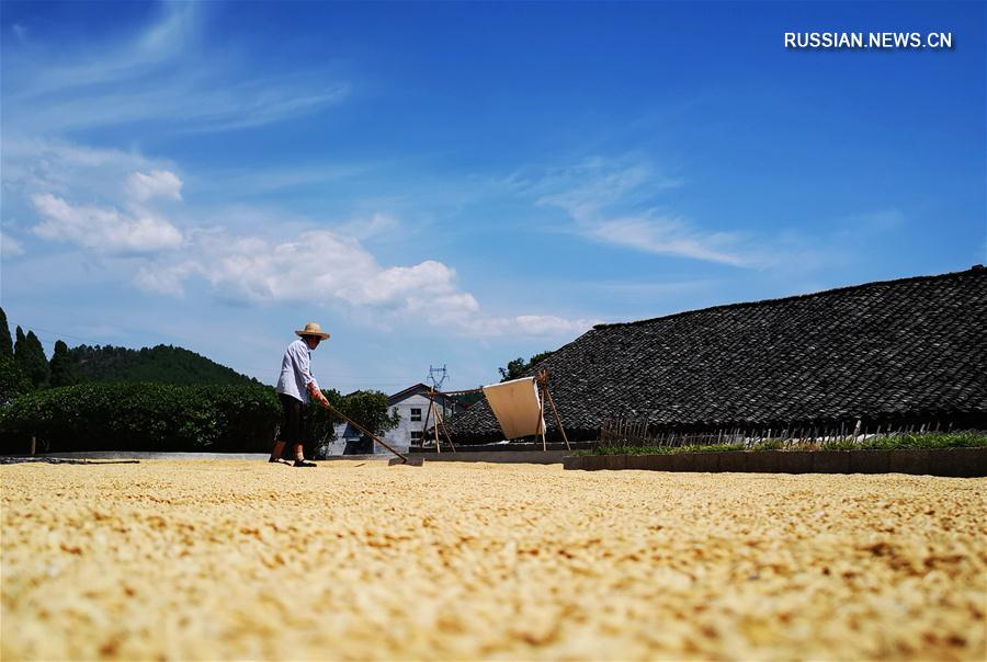 Сушка среднеспелого риса в провинции Хунань